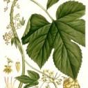 Hop botanisch
