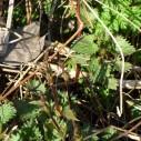 Wilde hop in het veld